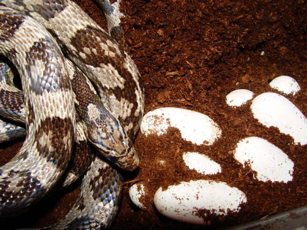 Anerythristic Corn Snake with eggs.