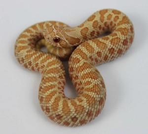 Albino Western Hognose Snake