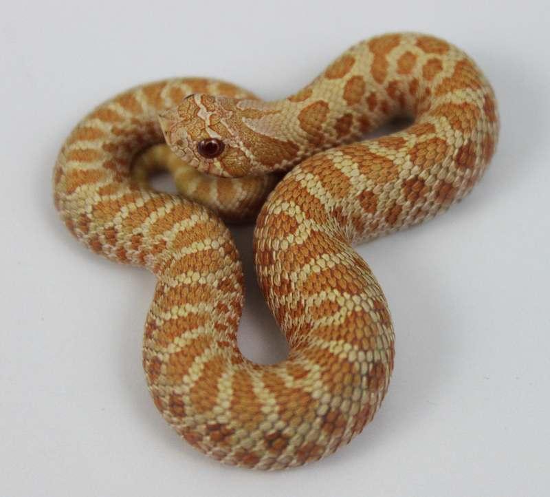Western Hognose Snake for sale | Desert Canyon Reptiles