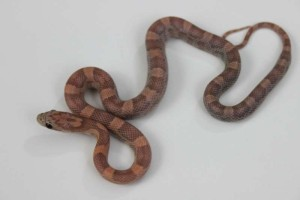 Orchid Corn Snake