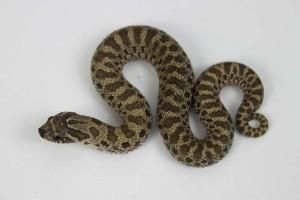 Normal het Albino Western Hognose Snake